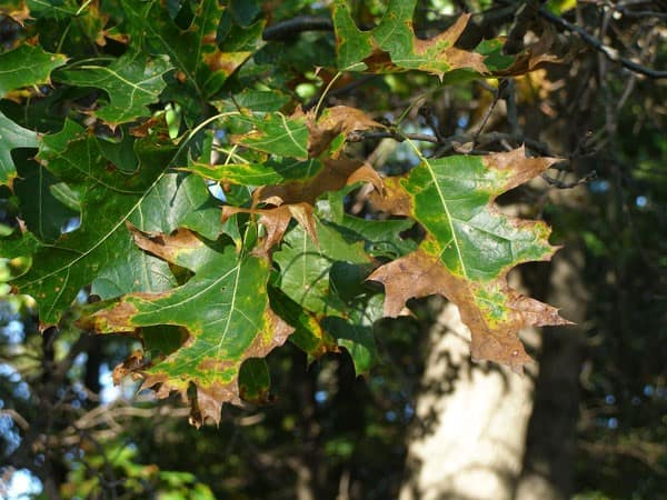 Oak Wilt Tree Disease